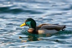 Male mallard swimming. Beautiful male mallard swimming in a lake Royalty Free Stock Image