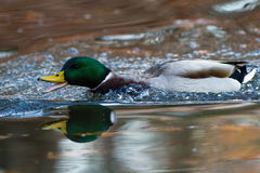 Male mallard swimming fast. With open bill Royalty Free Stock Images