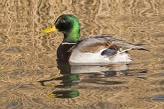 A male mallard duck swimming on the Ornamental Pond, Southampton Common Royalty Free Stock Image