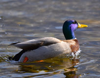 Male mallard swimming. In the lake Royalty Free Stock Photo