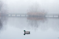 Male mallard swimming in pond in misty foggy weather. A pedestrians bridge is reflected on the still water surface Royalty Free Stock Photography