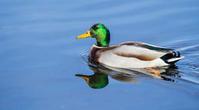 Male Mallard Swimming in soft focus. Male Mallard Swimming slowly in a local pond in soft focus Royalty Free Stock Image