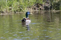 Male Mallard Swimming in Water.  Royalty Free Stock Images