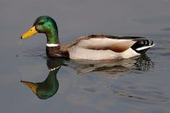 Male mallard swims in the lake. A male mallard swims in the lake Royalty Free Stock Photos