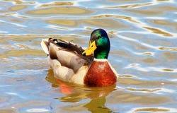 Male Mallard. Taking a swim on the park lake Royalty Free Stock Photography