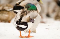 Male mallard in the snow. Male mallard with turned head in the snow Royalty Free Stock Images