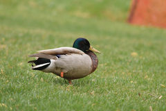 Male Mallard with one leg. A male mallard with one leg is standing on the grass Royalty Free Stock Photography