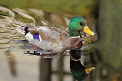 Mallard two headed reflection. The male mallard was swimming in the pond on early autumn morning. The pond was still and the water was glassy. The mallards stock photography