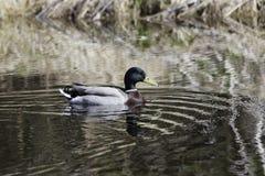 Male Mallard in Water Royalty Free Stock Image