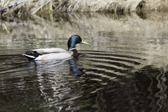 Male Mallard in Water Stock Photos