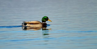 Male mallard or wild duck, anas platyrhynchos Stock Image