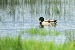 Male mallard or wild duck, anas platyrhynchos Royalty Free Stock Photo