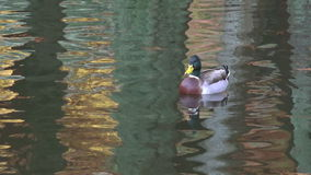 Male Mallard wild duck swim in a pond stock video footage