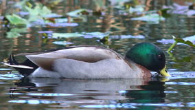 Male Mallard wild duck swim in a pond stock footage