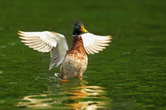 Male mallard with wings spread. On green surface of the lake Stock Photo