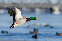 Male mallard in winter Royalty Free Stock Images