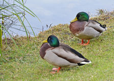 Male mallards. Sleeping near the lake Stock Image