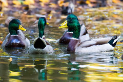 Male Mallards Royalty Free Stock Photos