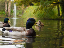 Male mallards on lake. Wild ducks in autumn Stock Photo