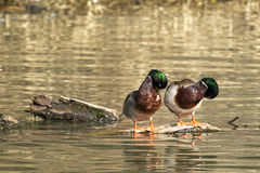 Male mallards preening themselves. Stock Photography