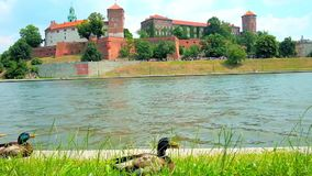 The male mallards on the bank of Vistula river, Krakow, Poland. The male mallards rest in grass on the bank of Vistula river with a view on Wawel Castle on the stock footage