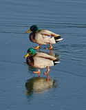 Male mallards on a river. Adult male mallards on a frozen river in wintertime Stock Photos