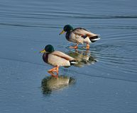 Male mallards on a river. Adult male mallards on a frozen river in wintertime Royalty Free Stock Photography