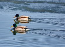 Male mallards on a river. Adult male mallards on a frozen river in wintertime Royalty Free Stock Photo