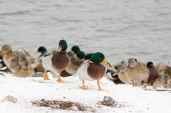 Male mallards in the snow. Mallards on the lake coast during the winter Stock Photography