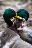 Male Mallards. Two green-headed male mallards fighting pulling feathers with yellow bills Stock Photo