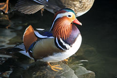 Male Mandarin duck Stock Photo