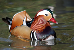 Male Mandarin Duck Stock Image