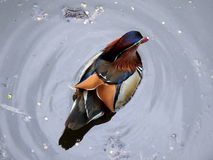 Male mandarin duck Royalty Free Stock Photography