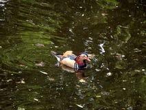 Male mandarin duck. Aix galericulata Royalty Free Stock Photos