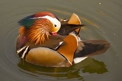 Male mandarin duck / Aix galericulata Royalty Free Stock Images