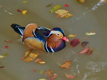 Male mandarin duck Aix galericulata swimming in the water. Mandarin lat. AIX galericulata is a small bird of the genus forest ducks of the duck family. Lives royalty free stock photo