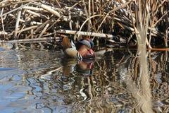 A Male mandarin duck (Aix galericulata) Stock Images