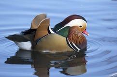 Male Mandarin Duck Stock Photos