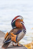 Male Mandarin duck. Close up view of a male Mandarin duck standing near the water Stock Images