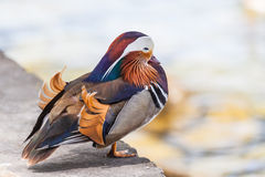 Male Mandarin duck. Close up view of a male Mandarin duck standing near the water Stock Photo