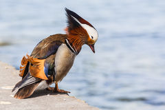 Male Mandarin duck Royalty Free Stock Photos