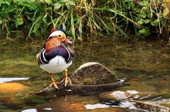 Male mandarin duck colored feathers Stock Images