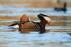 Male Mandarin Duck Royalty Free Stock Image