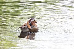 Male Mandarin duck Stock Photography