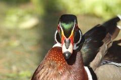 Male mandarin duck portrait Stock Photo