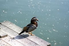 Male mandarin duck relaxing on wooden pier on dirty lake in sunlight. Beautiful bird Royalty Free Stock Images
