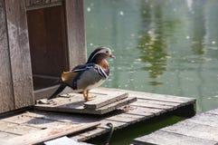 Male mandarin duck relaxing on wooden pier on dirty lake in sunlight. Beautiful bird Royalty Free Stock Photo