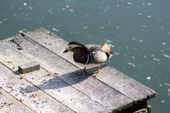 Male mandarin duck relaxing on wooden pier on dirty lake in sunlight. Beautiful bird Stock Image