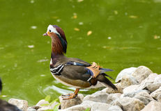 Male mandarin duck standing near the green lake. Male mandarin duck standing near the green lake, isolated Stock Photos