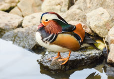 Male mandarin duck standing near a lake. Male mandarin duck standing near a pond Stock Photography